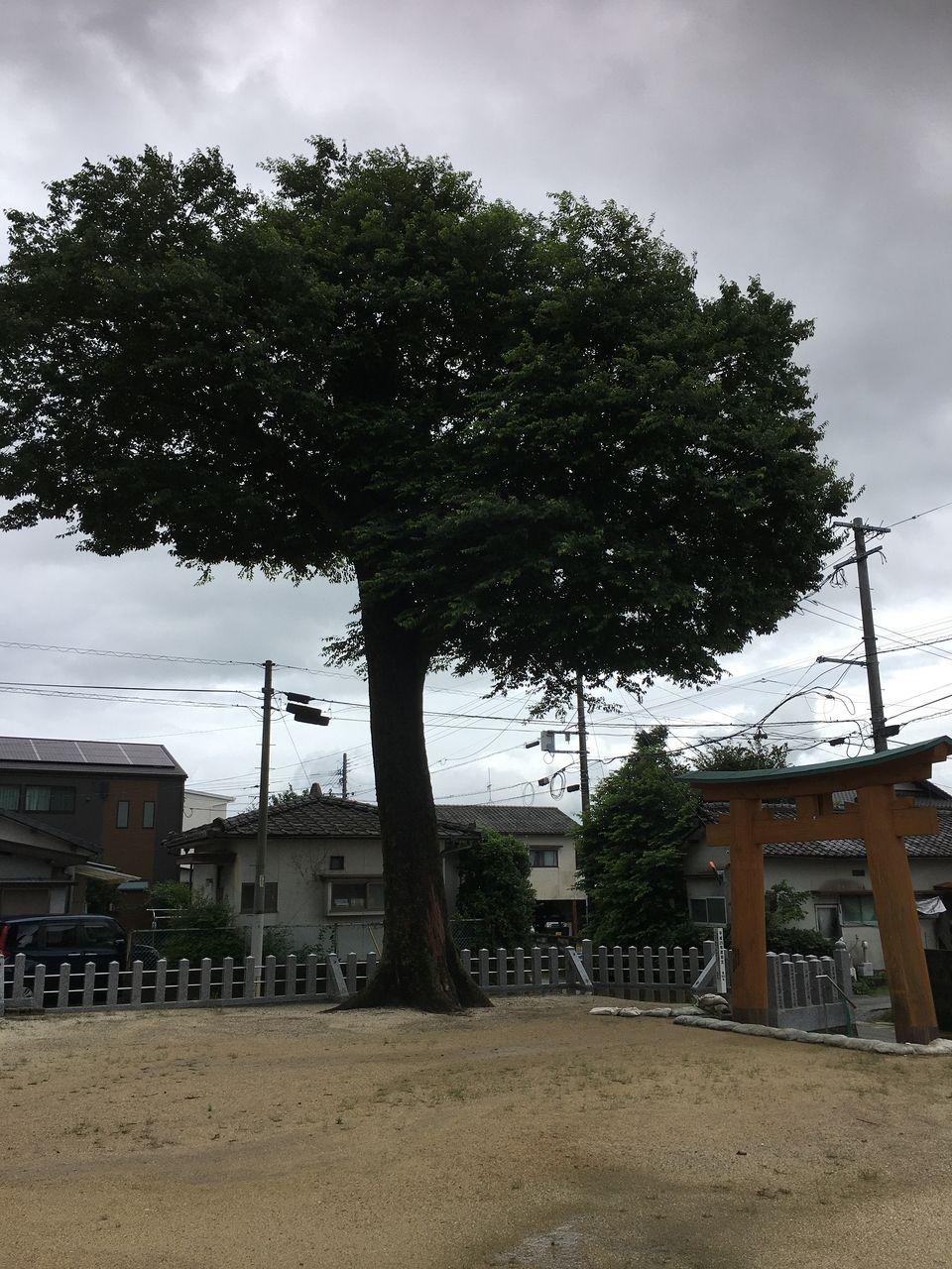 境内に水が溜まる中にも由々しく聳える熊本市の指定木