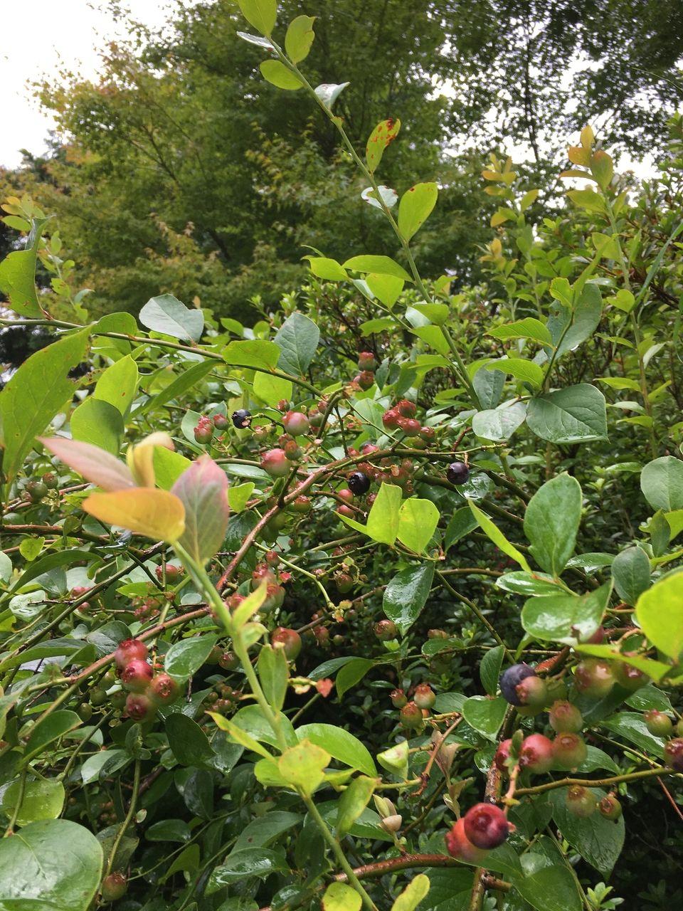 熊本県阿蘇郡南阿蘇村今年もブルーベリーの実が少しずつ熟れてきました。