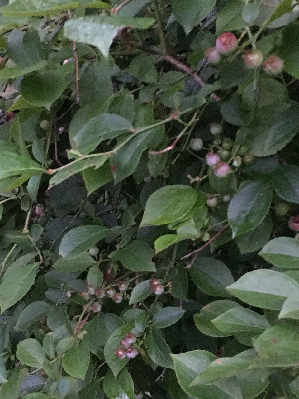 南阿蘇のブルーベリーの実少しづつ色づいてきました。