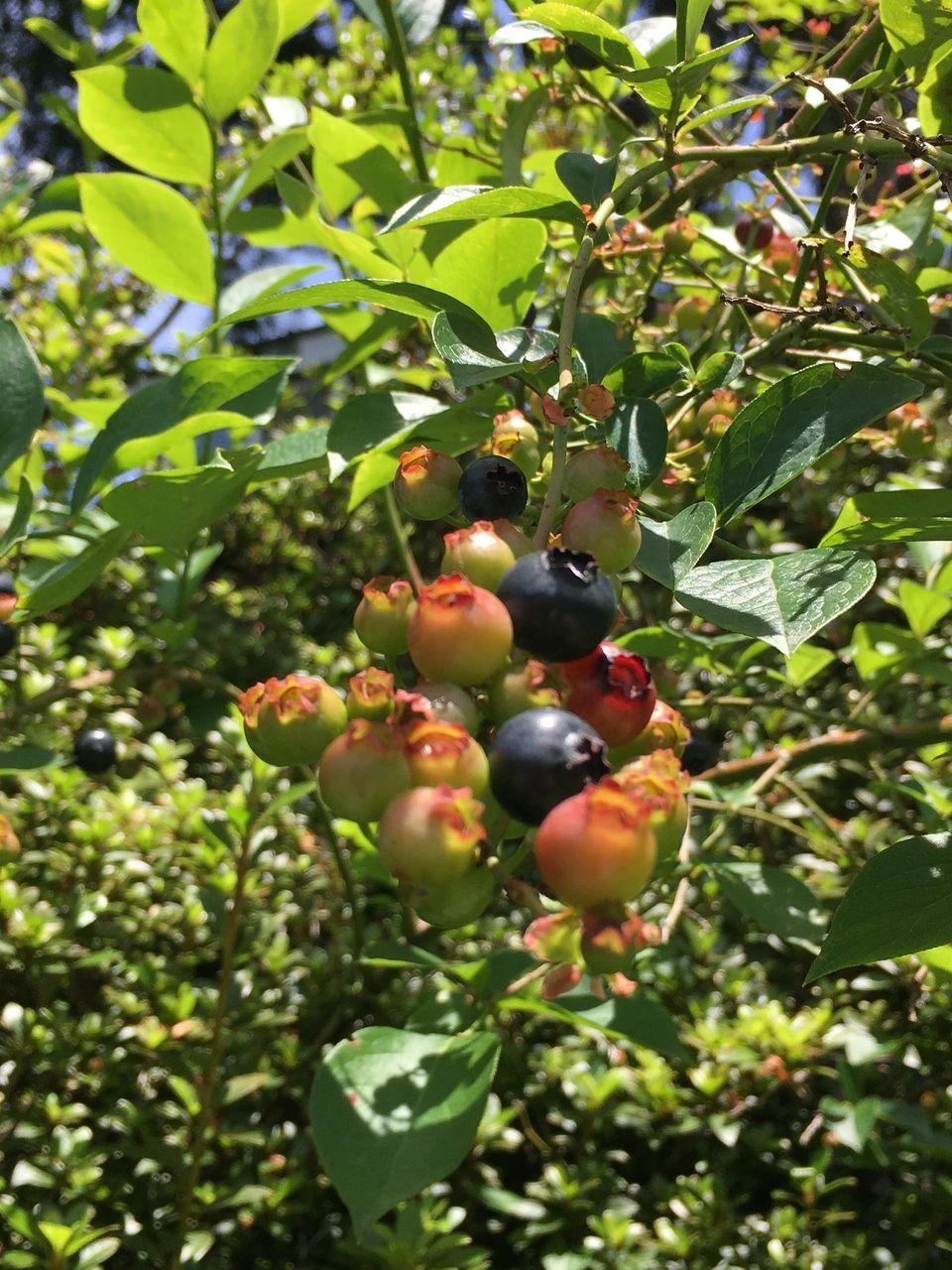 南阿蘇のブルーベリーの実かなり熟れてきました。