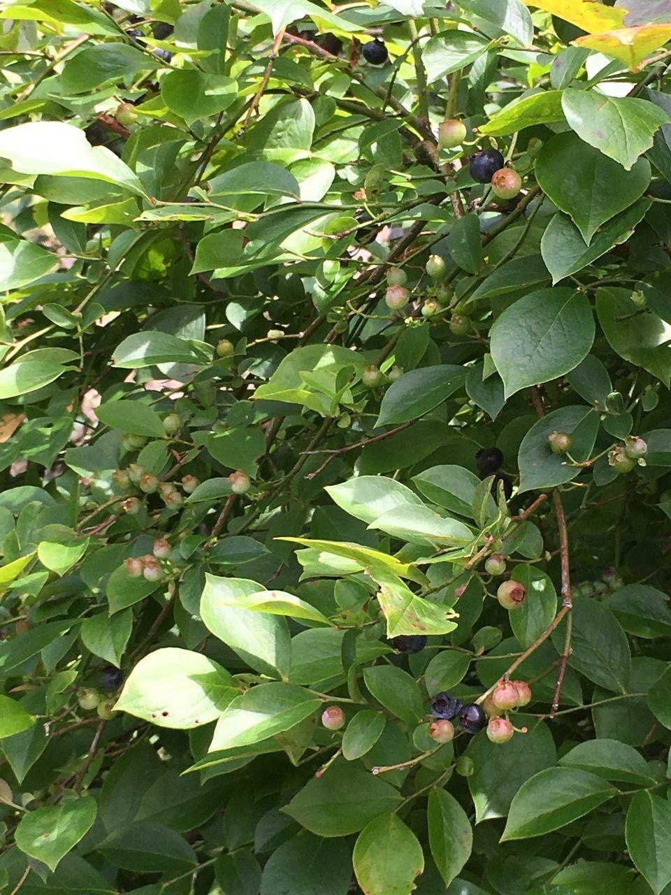 熊本県阿蘇郡南阿蘇村今年もブルーベリーの実がかなり熟れてきました。