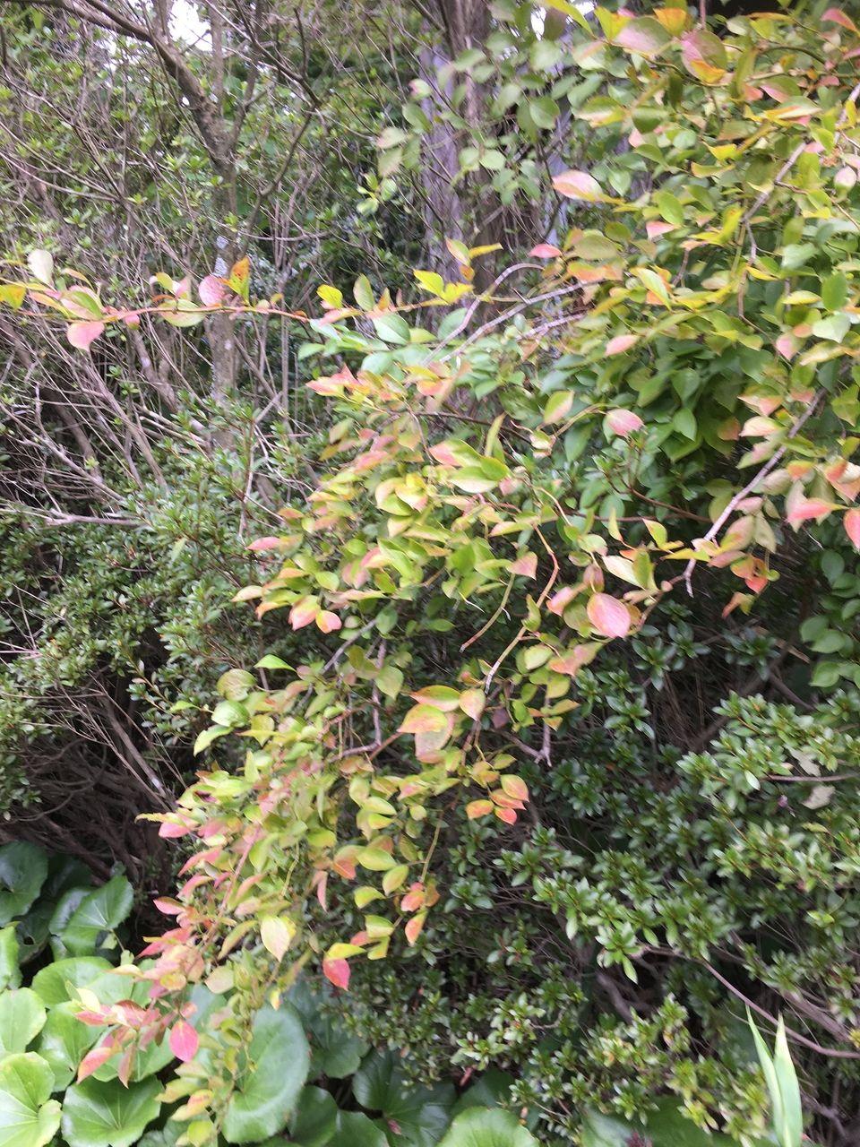 秋を感じさせるブルーベリーの木