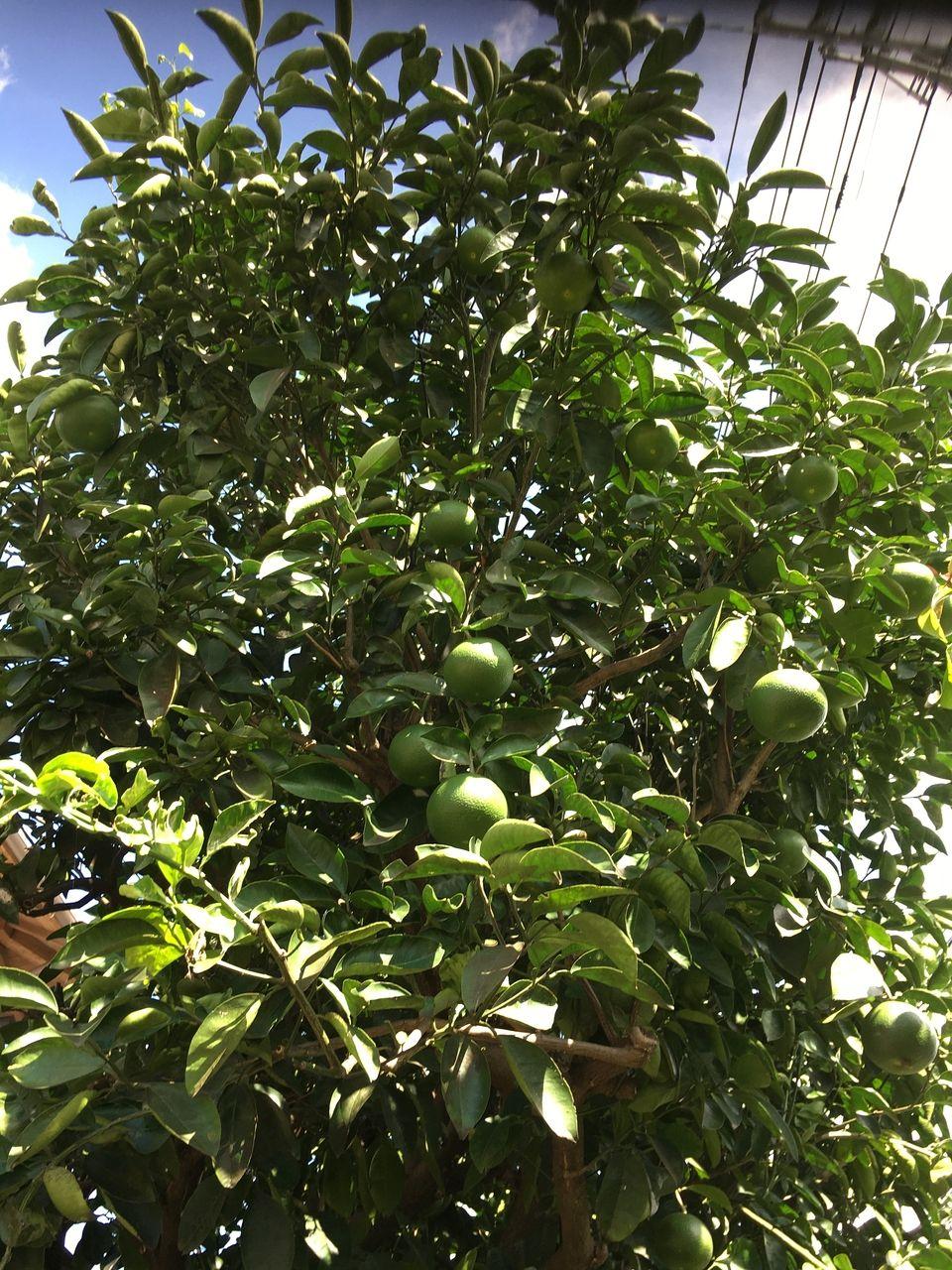 事務所の蜜柑の木・実がかなり大きくなりました