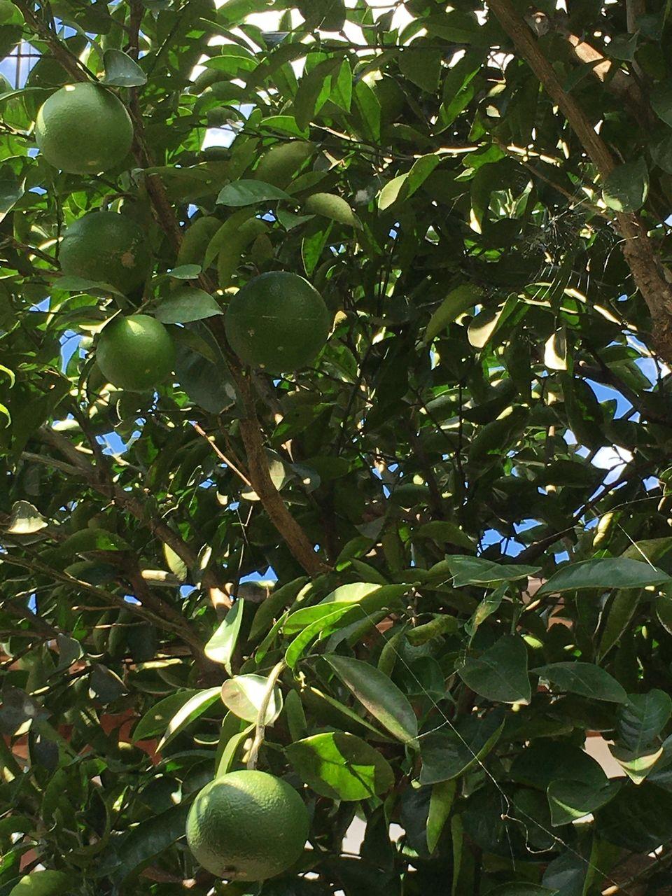 熊本市東区若葉・事務所の蜜柑の木・実がかなり大きくなりました
