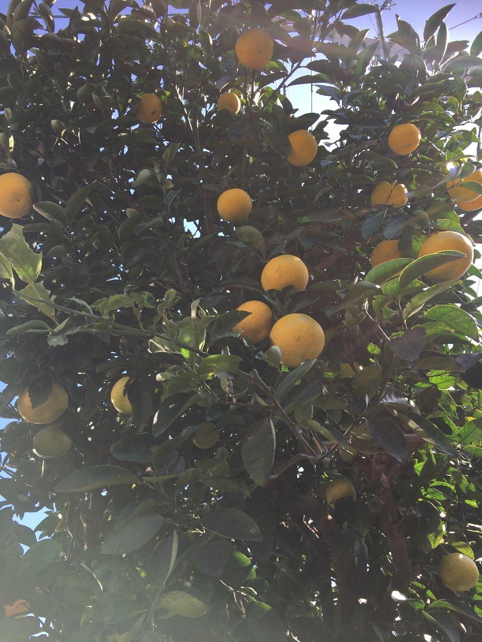 太陽の光を満身に浴びて日々大きくなる蜜柑の実