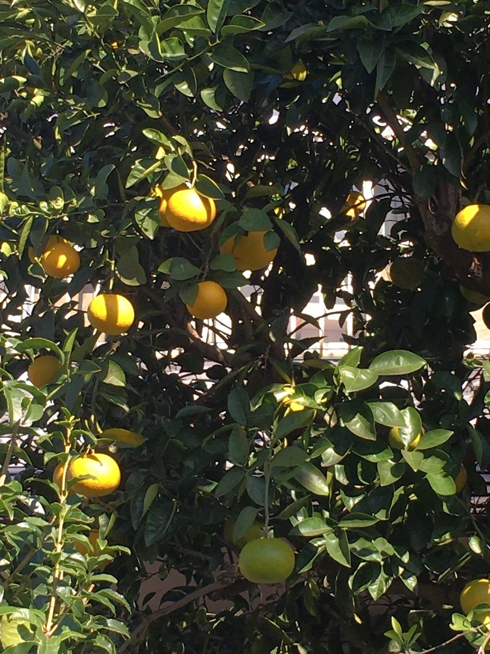 熊本市東区若葉・庭になる蜜柑の実