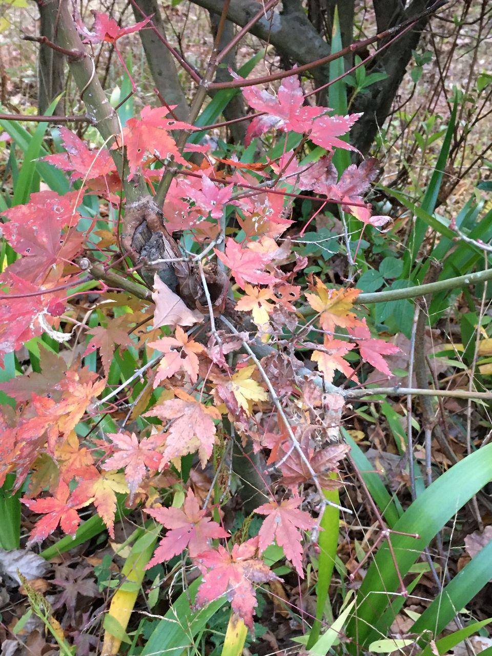 晩秋の南阿蘇・木々の枝の中に際立つ赤い葉