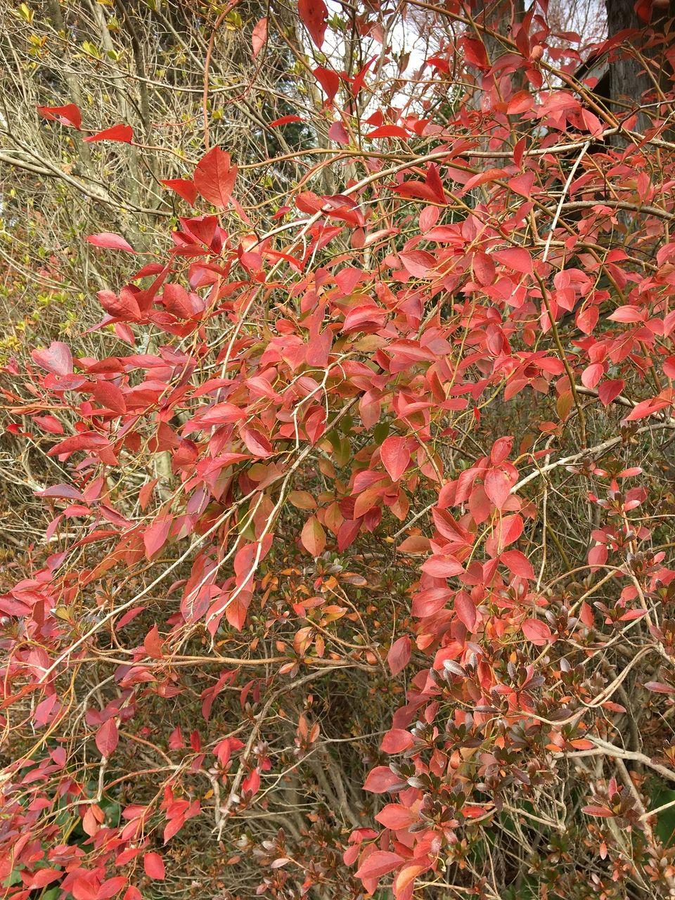 冬のきびしさの中真っ赤に萌えるブルーベリーの木