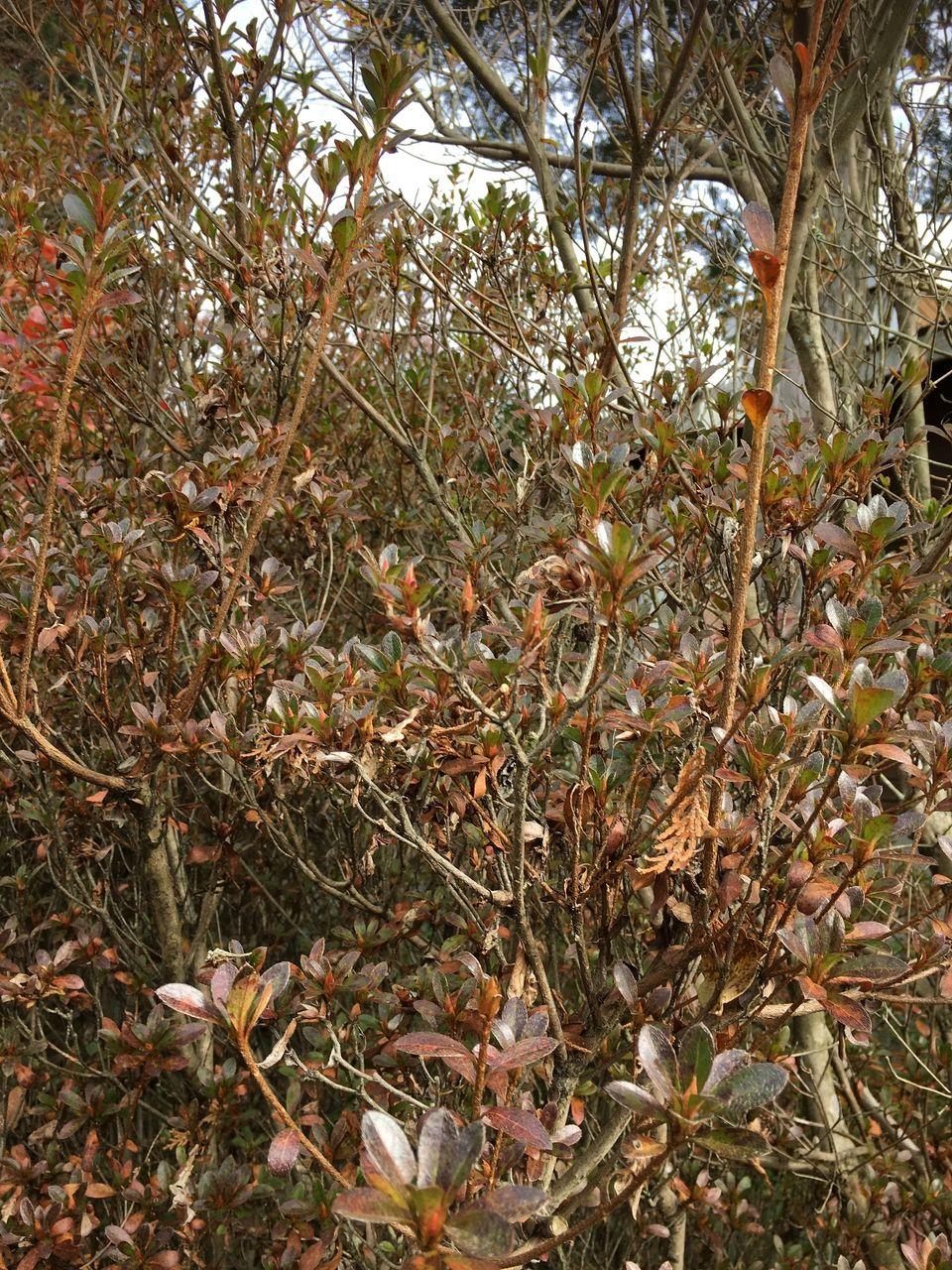 冬のきびしさの中に来春の蕾を抱く躑躅の木々