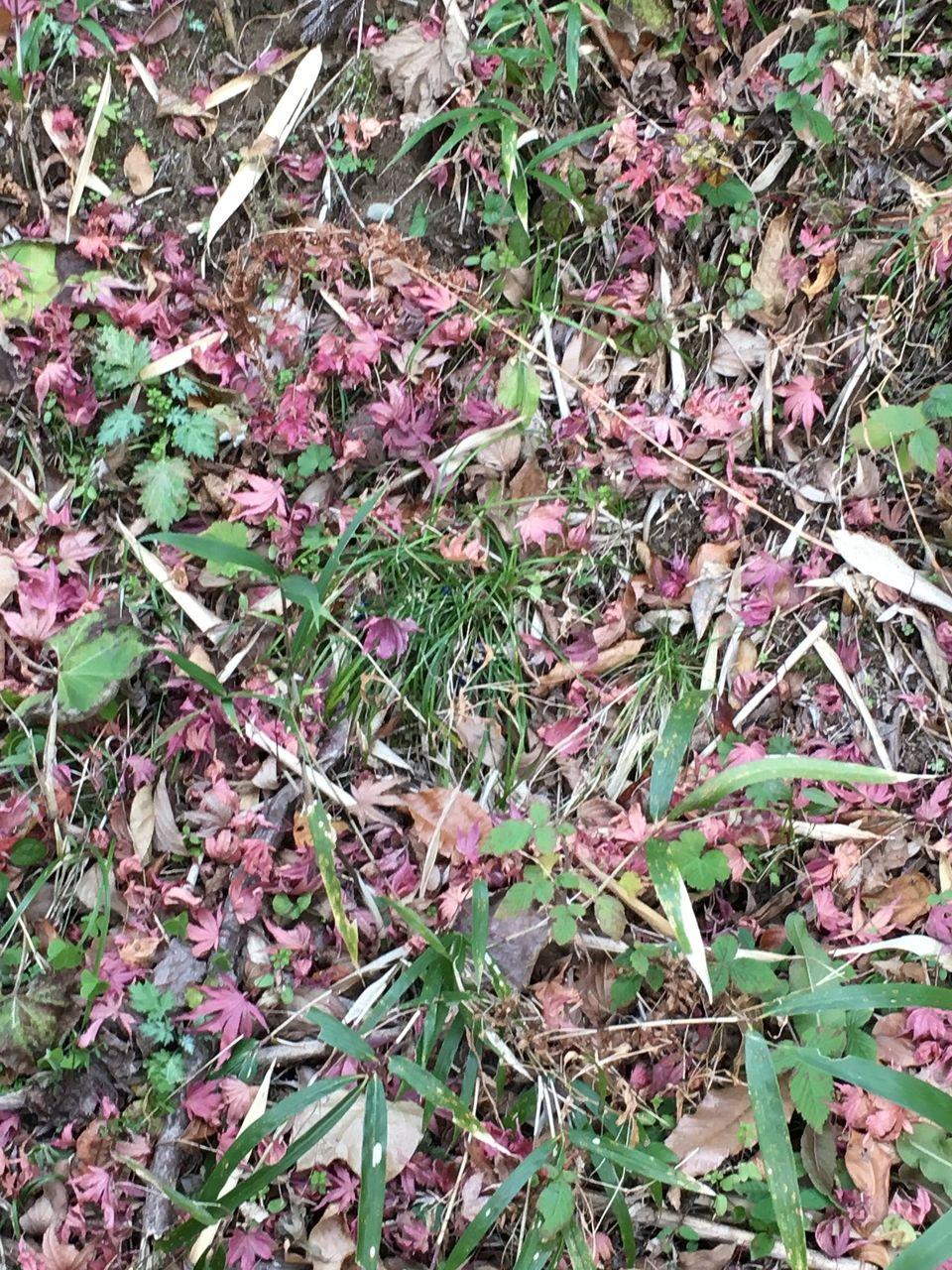 枯れ葉に彩りを添える楓の落葉