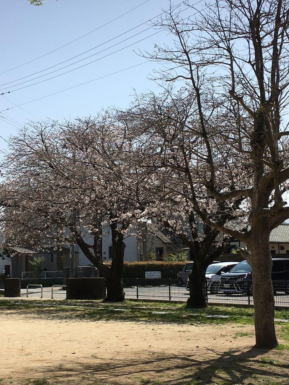 今年はもう咲き始めた沼山津公園の桜