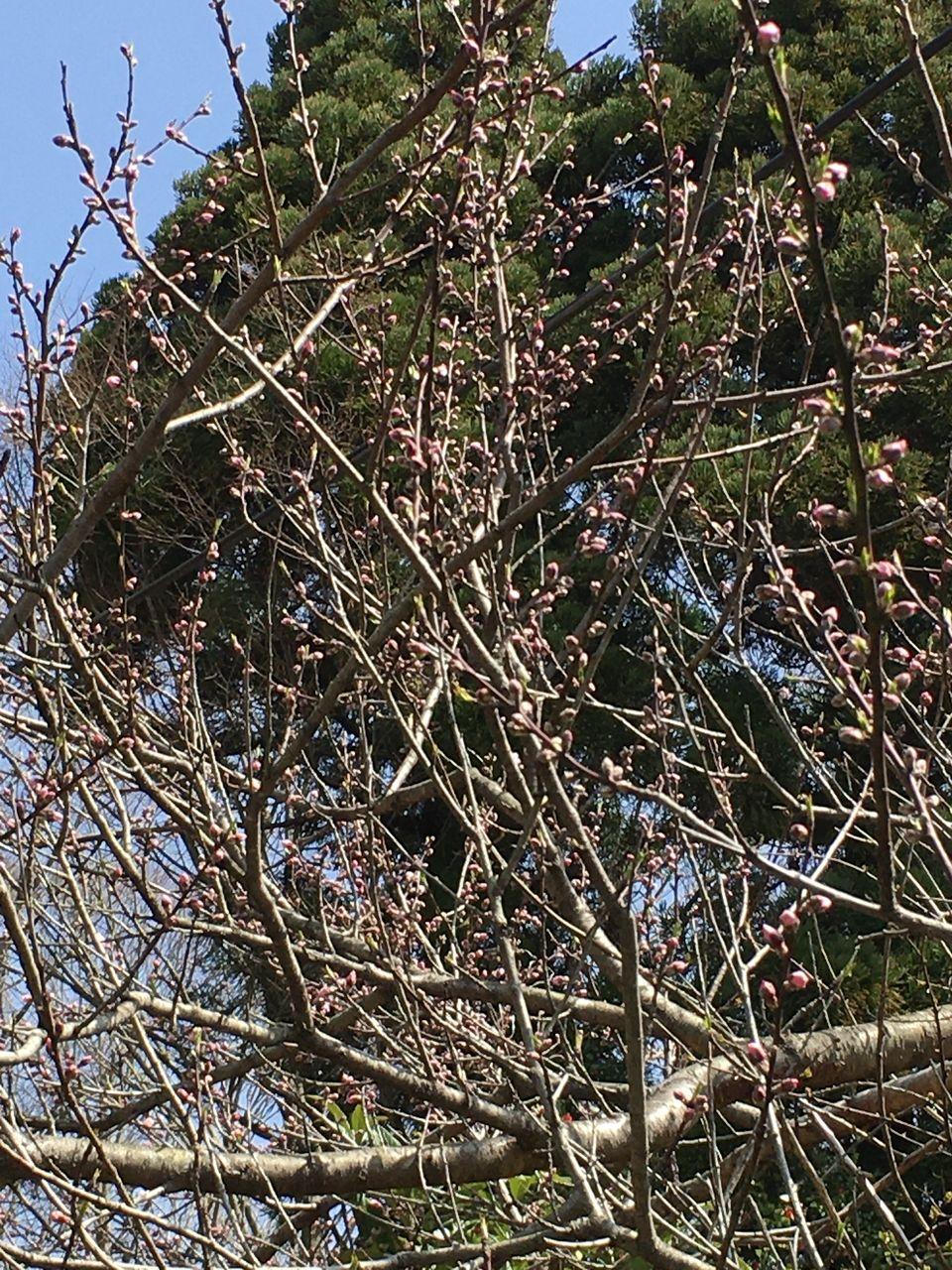 蕾がいっぱいの桃の木