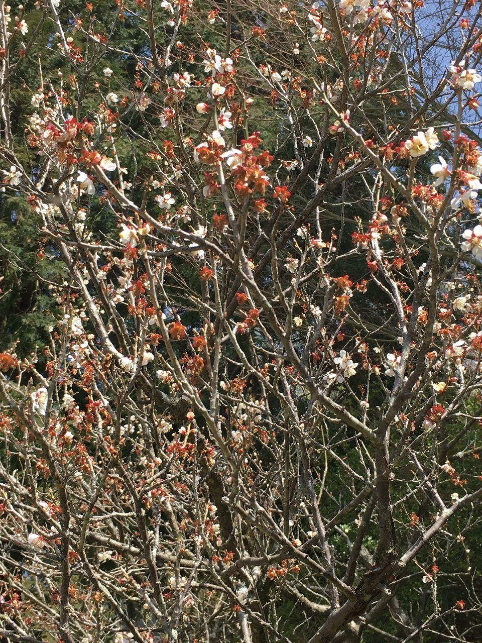 花から実に代わっていく梅の木