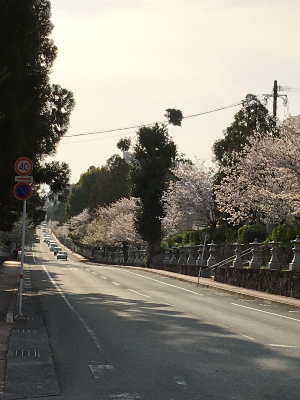 さくらが満開の健軍神社参道