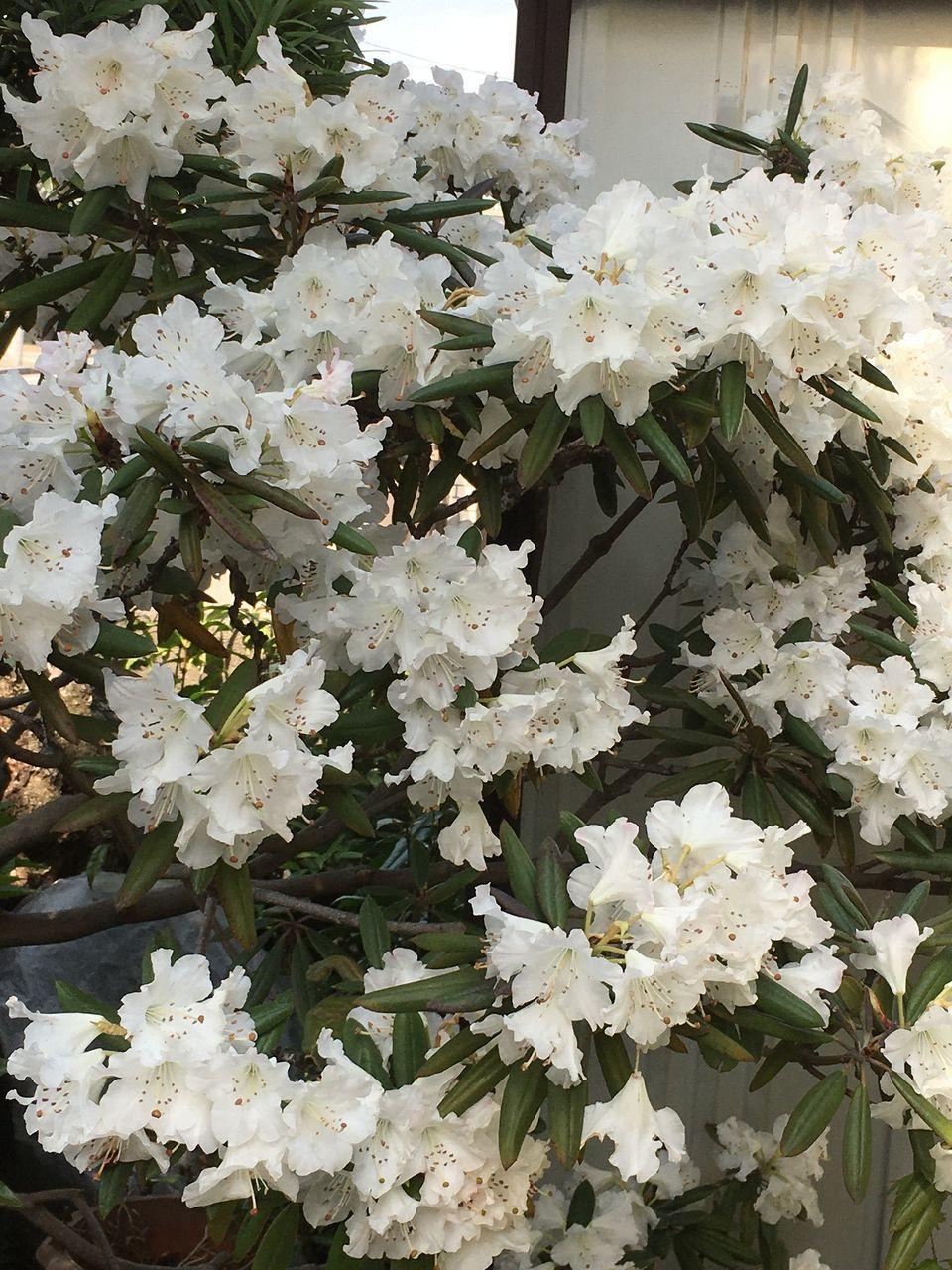 満開の石楠花