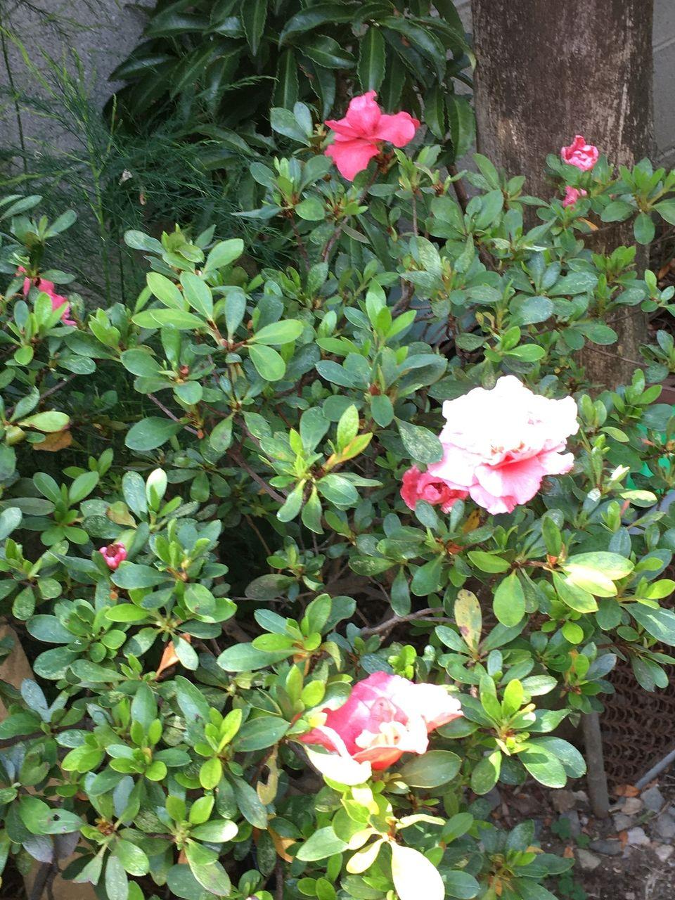 春の訪れを伝えてくれる躑躅の花