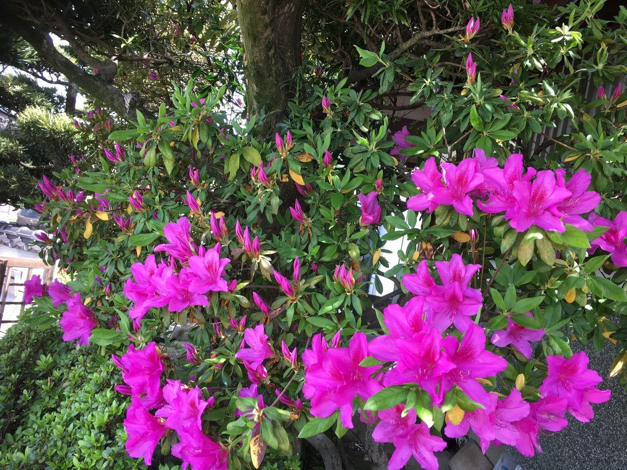 今年も、事務所の庭に春の訪れⅡ