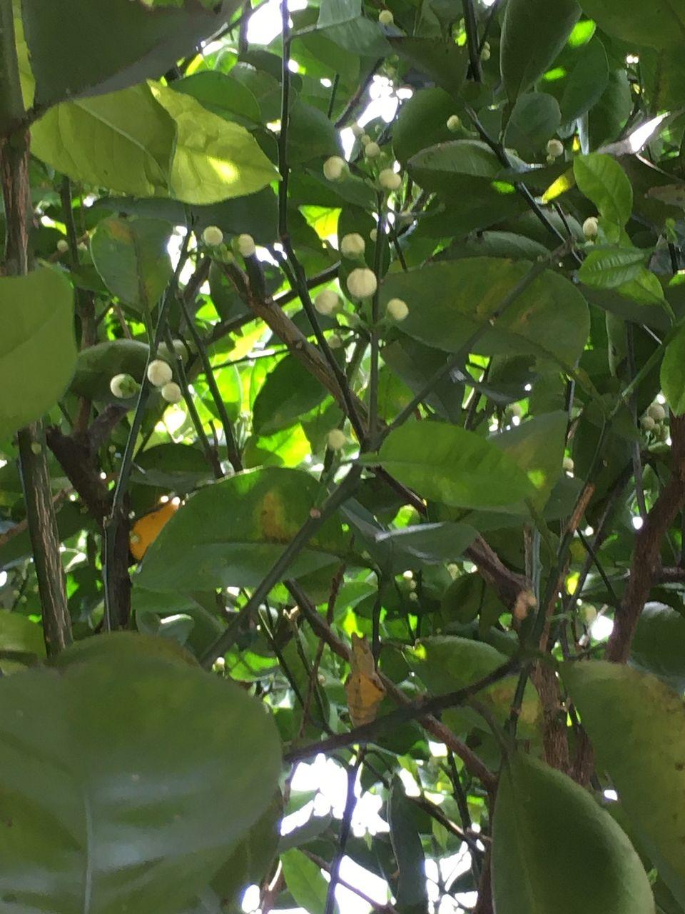 蜜柑の花のつぼみ