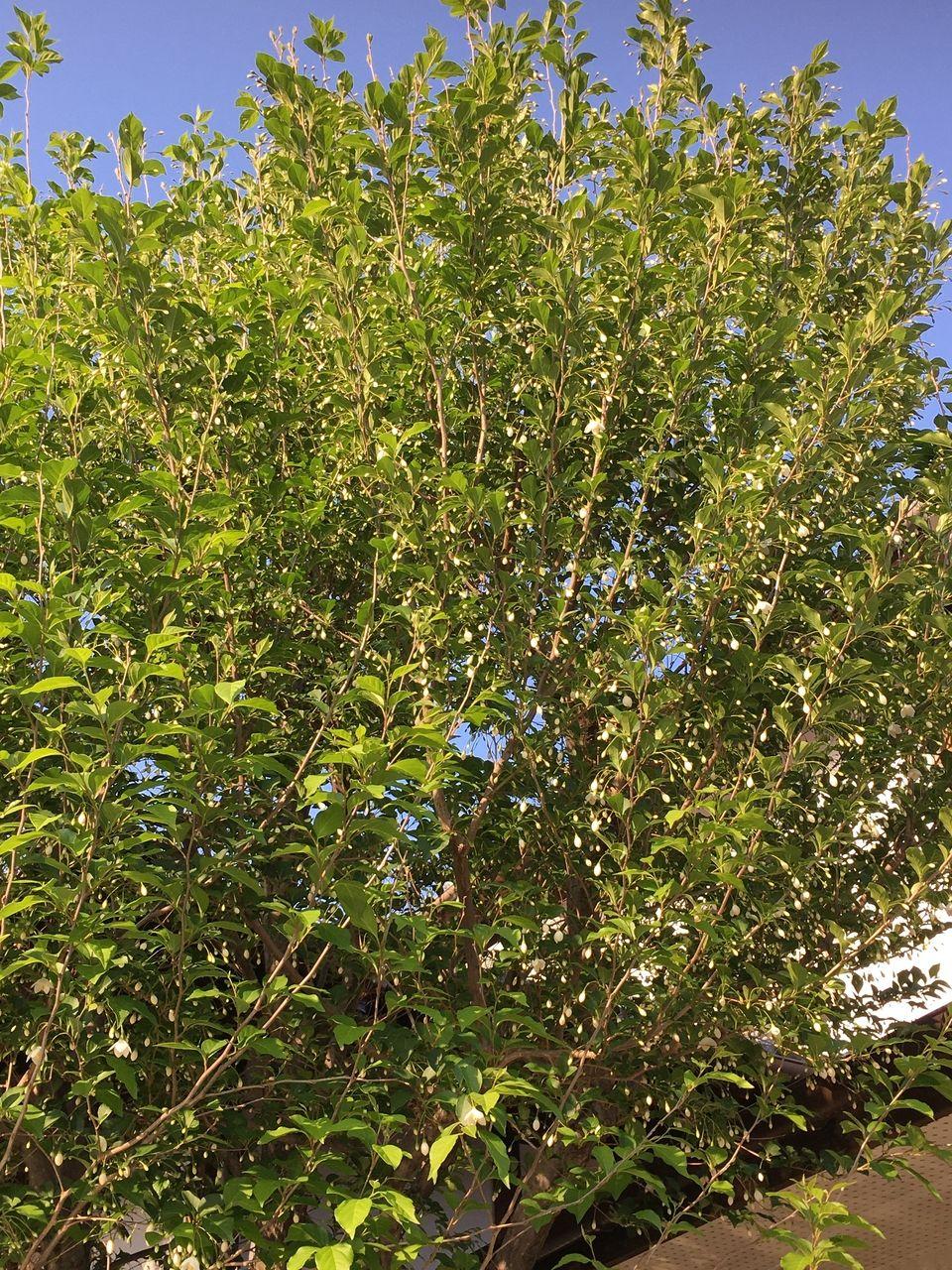 事務所の庭に咲くエゴノキのつぼみ