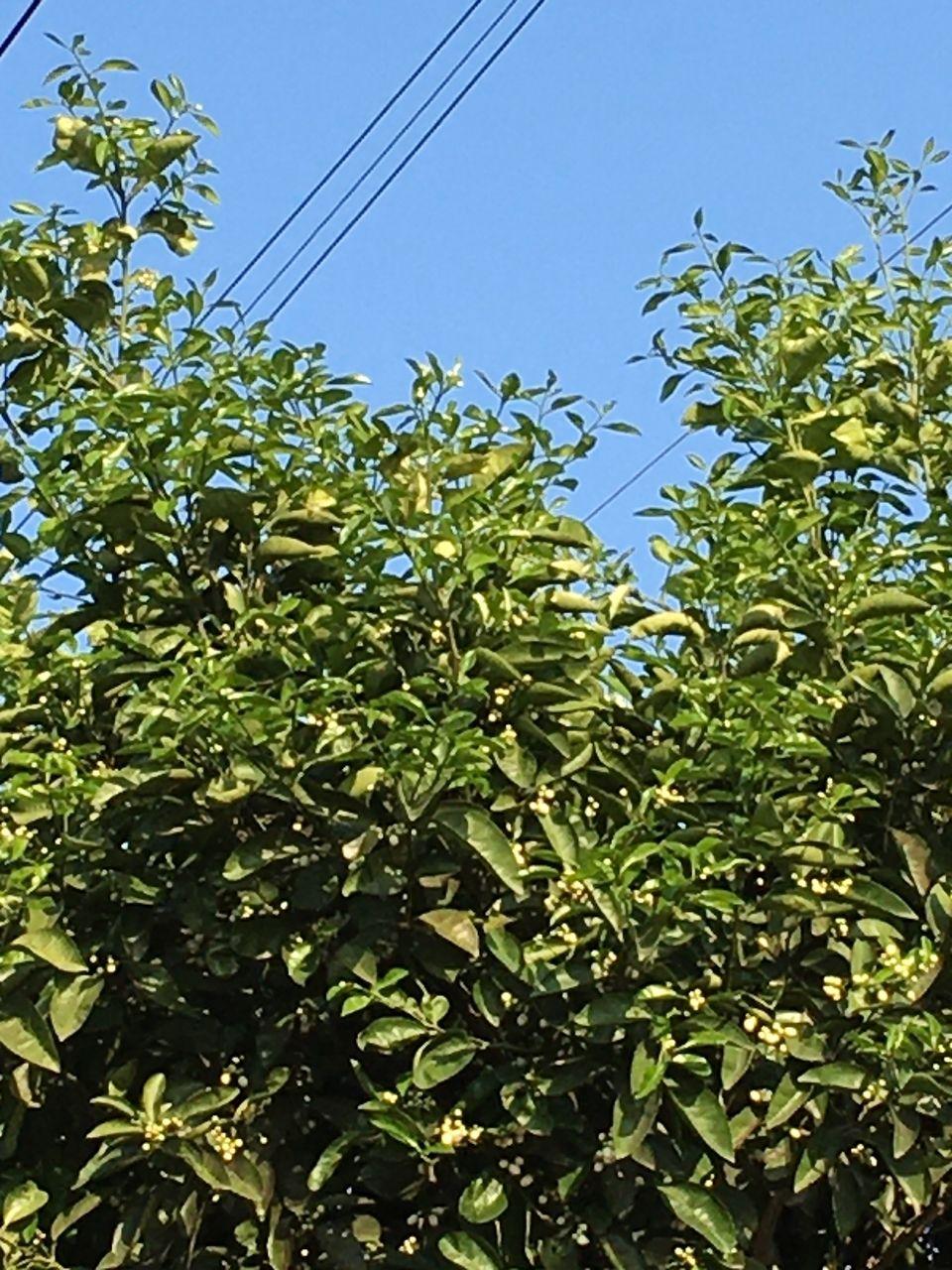 事務所の庭に咲く蜜柑の木のつぼみ