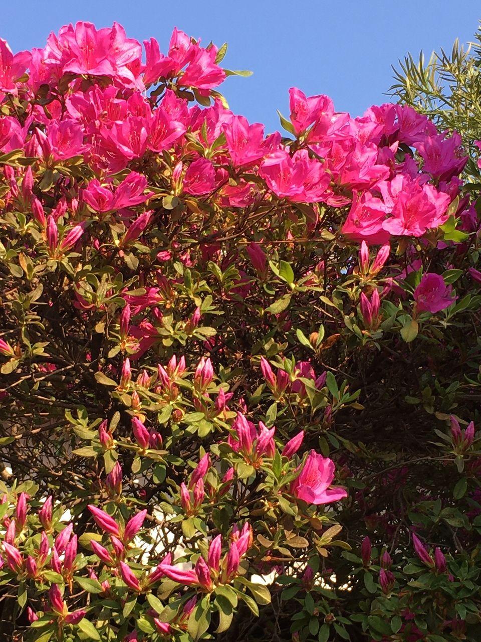 事務所の庭に咲くツツジ