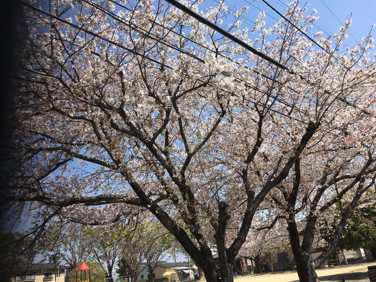 熊本市東区沼山津・沼山津公園の桜、今年は開花が早かった分新緑に変わるのも早かったです