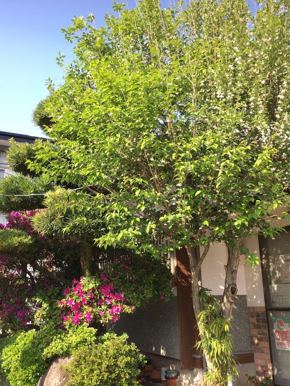 エゴノキと躑躅の花