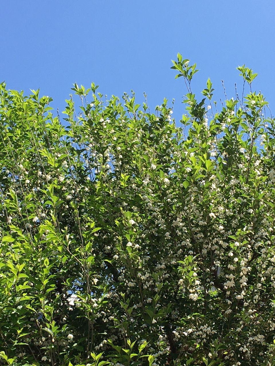 満開のエゴの木の花