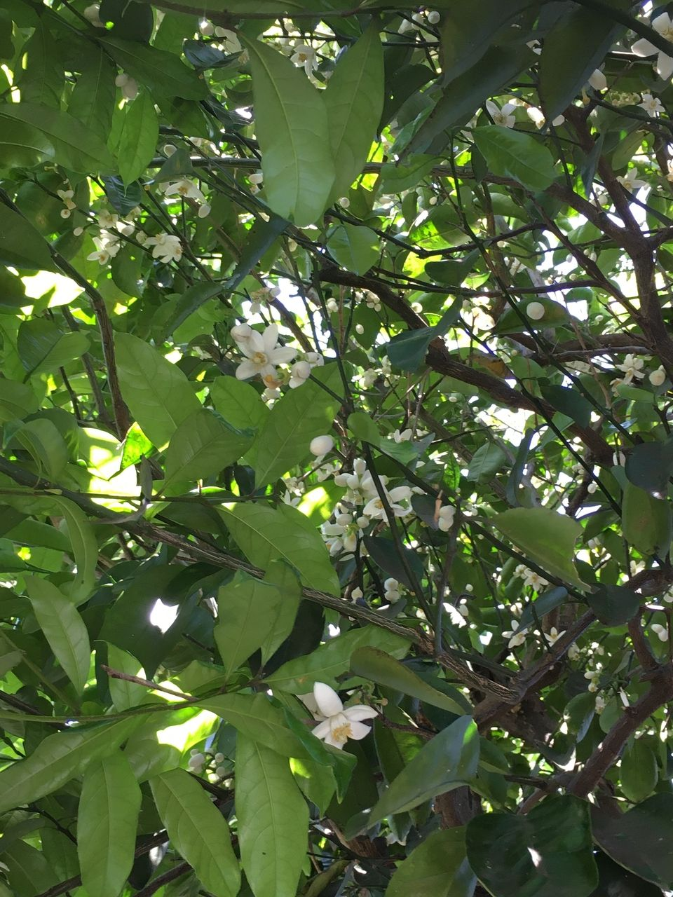 次々と開いてきた蜜柑の花