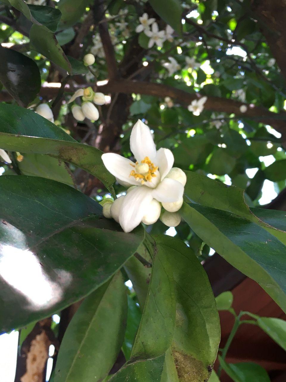 もう開いた蜜柑の花