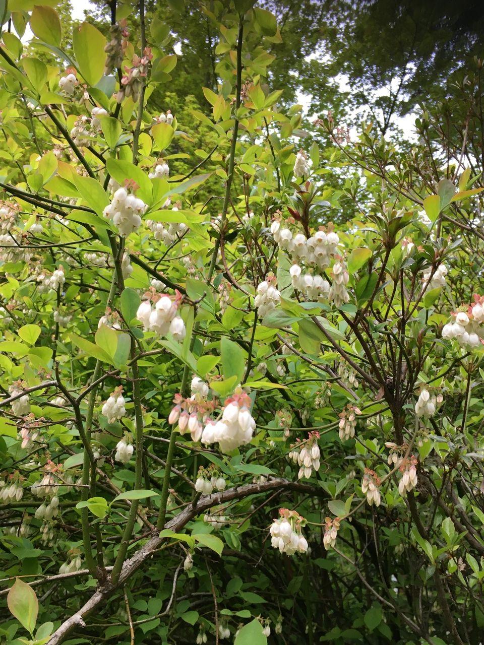 満開のブルーベリーの花