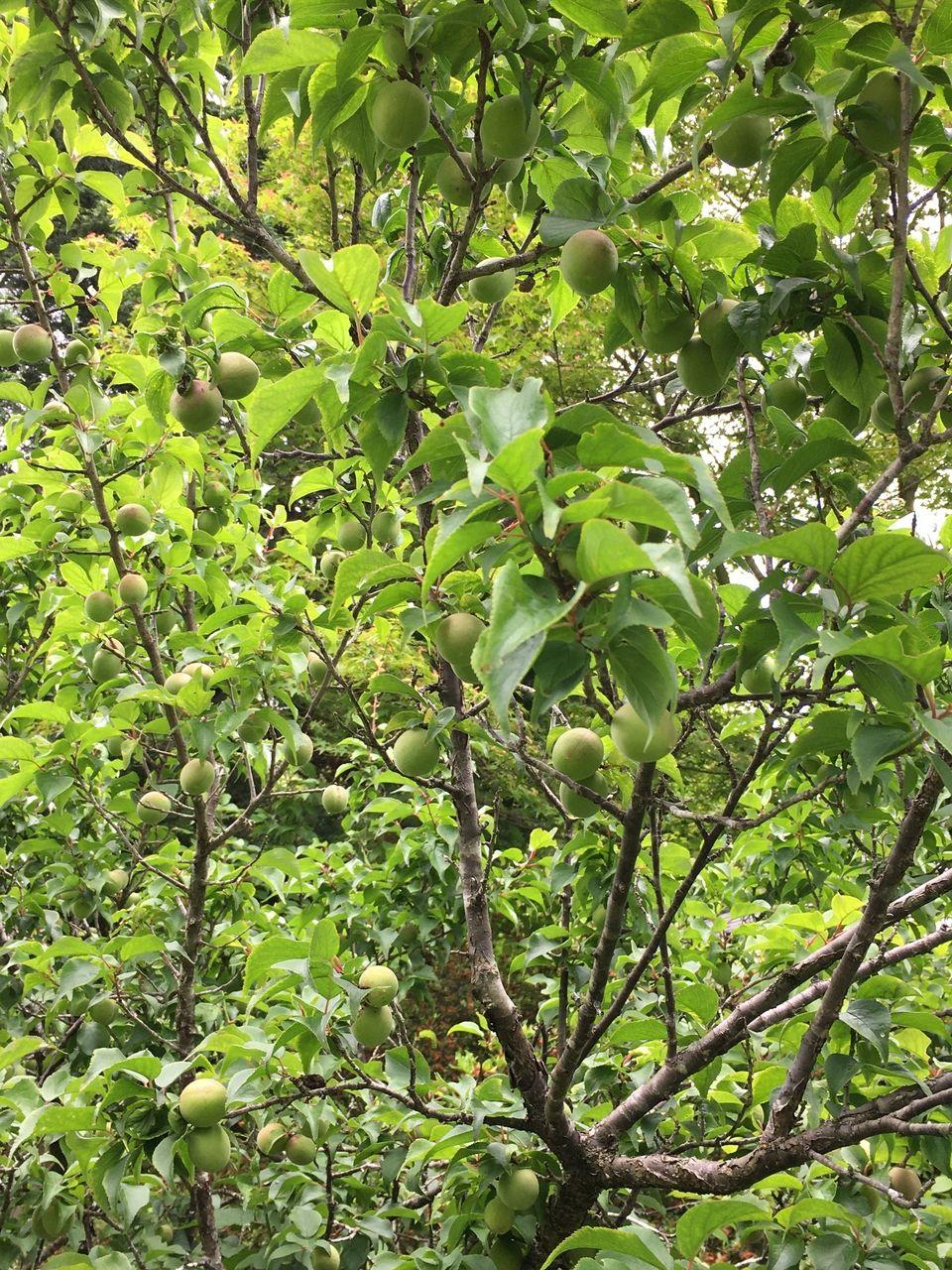 たくさんの収穫があった梅の実