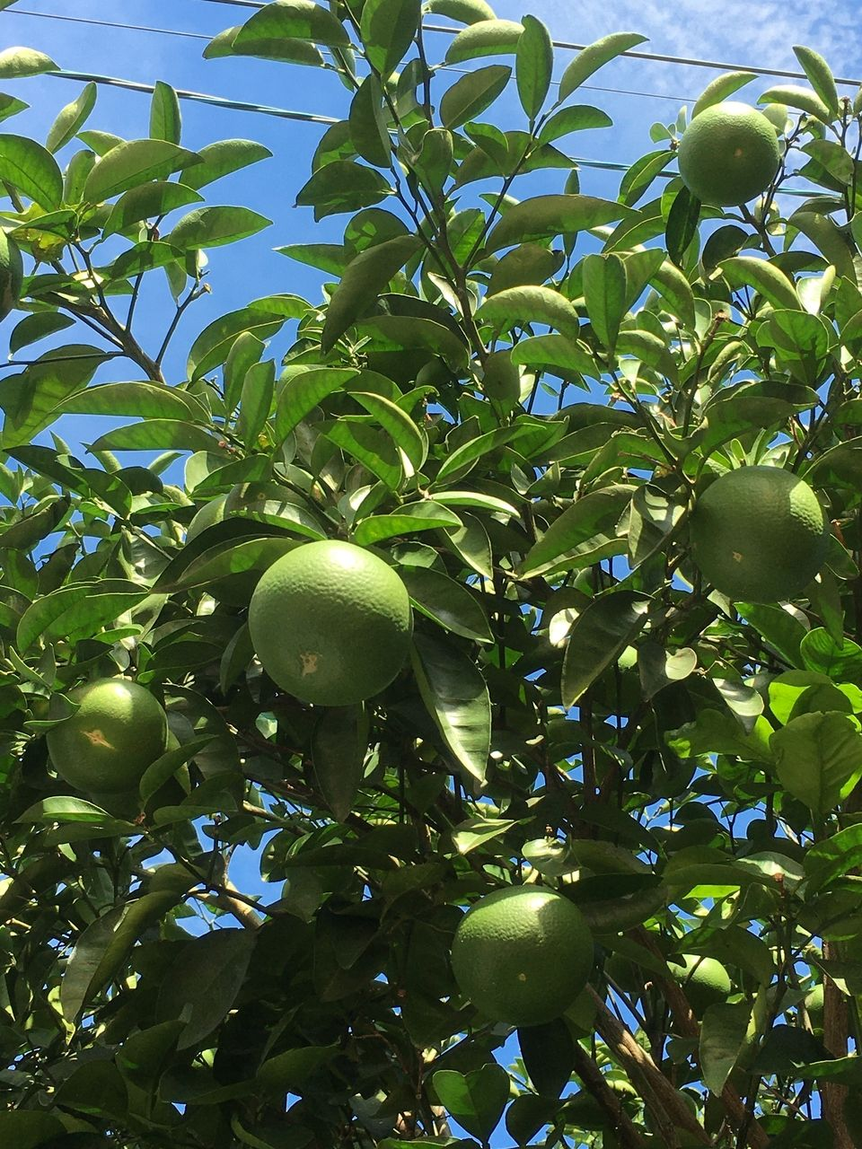 太陽の陽射しに輝く、大きくなってきた蜜柑の実