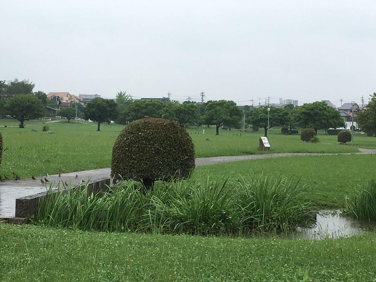 小雨のなか水が引いた遊歩道で遊ぶ小鳥たち