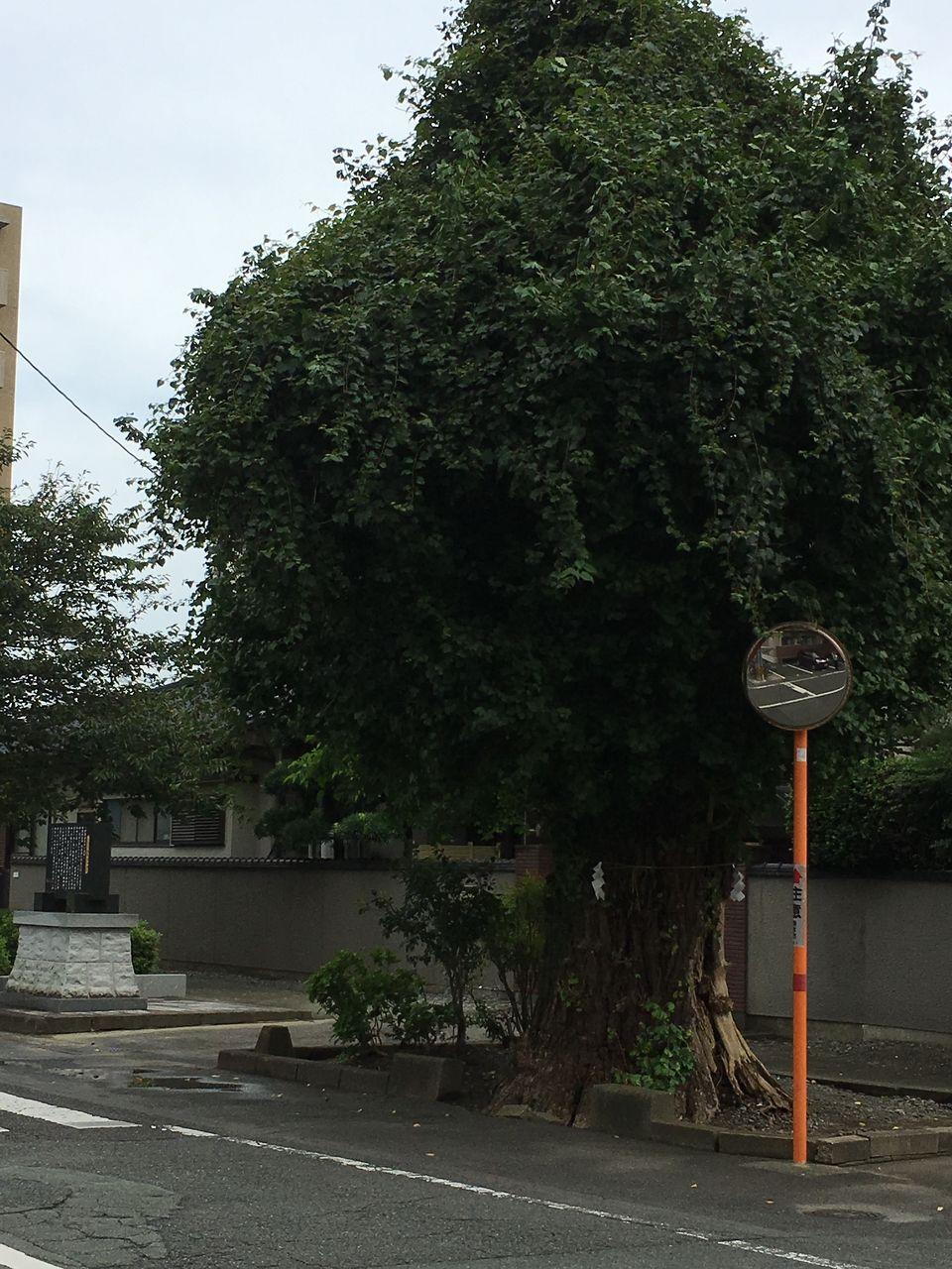 加藤清正公が植樹した当時の参道起点の大銀杏