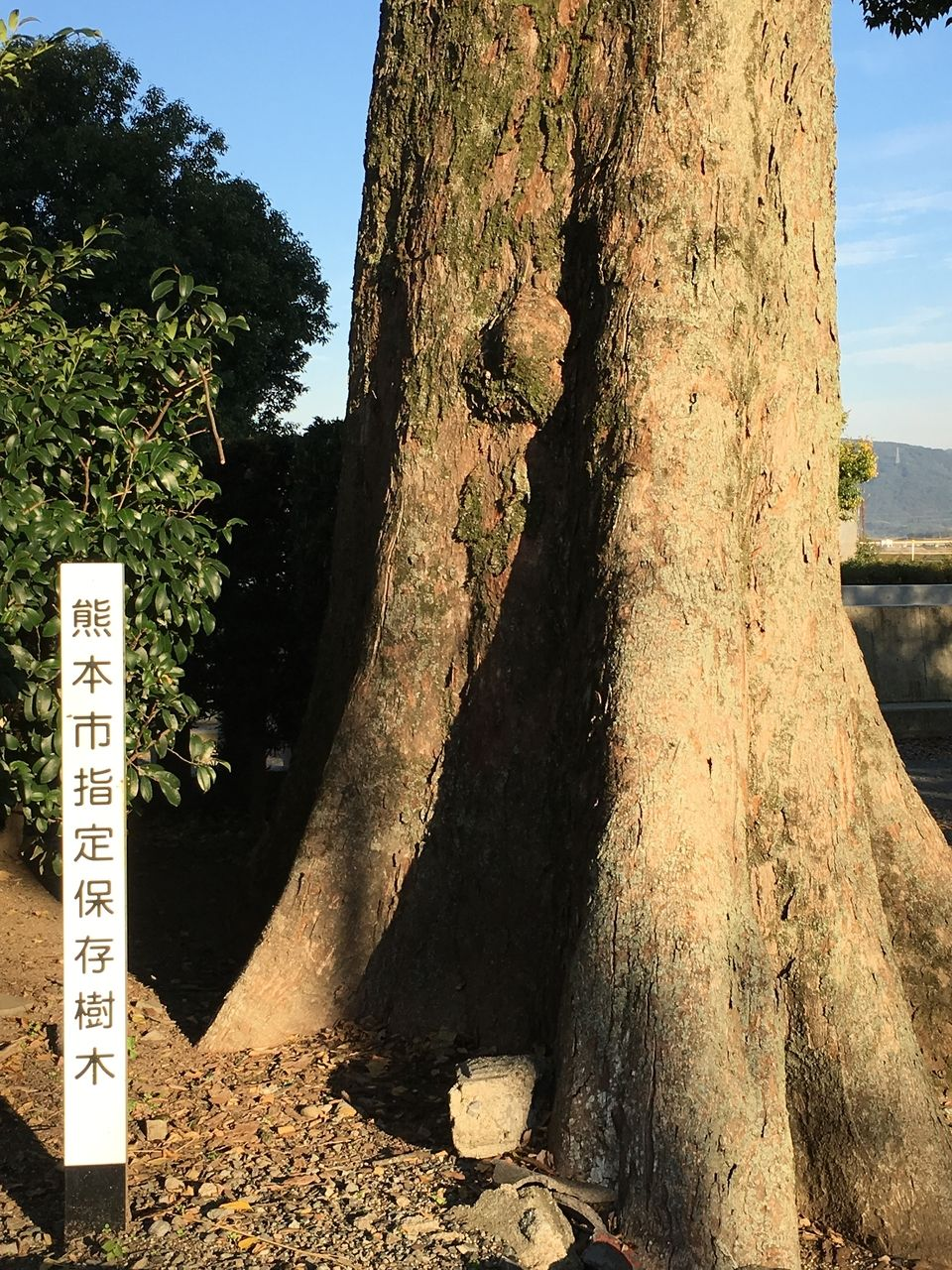 境内に鎮座する熊本市指定保存樹木