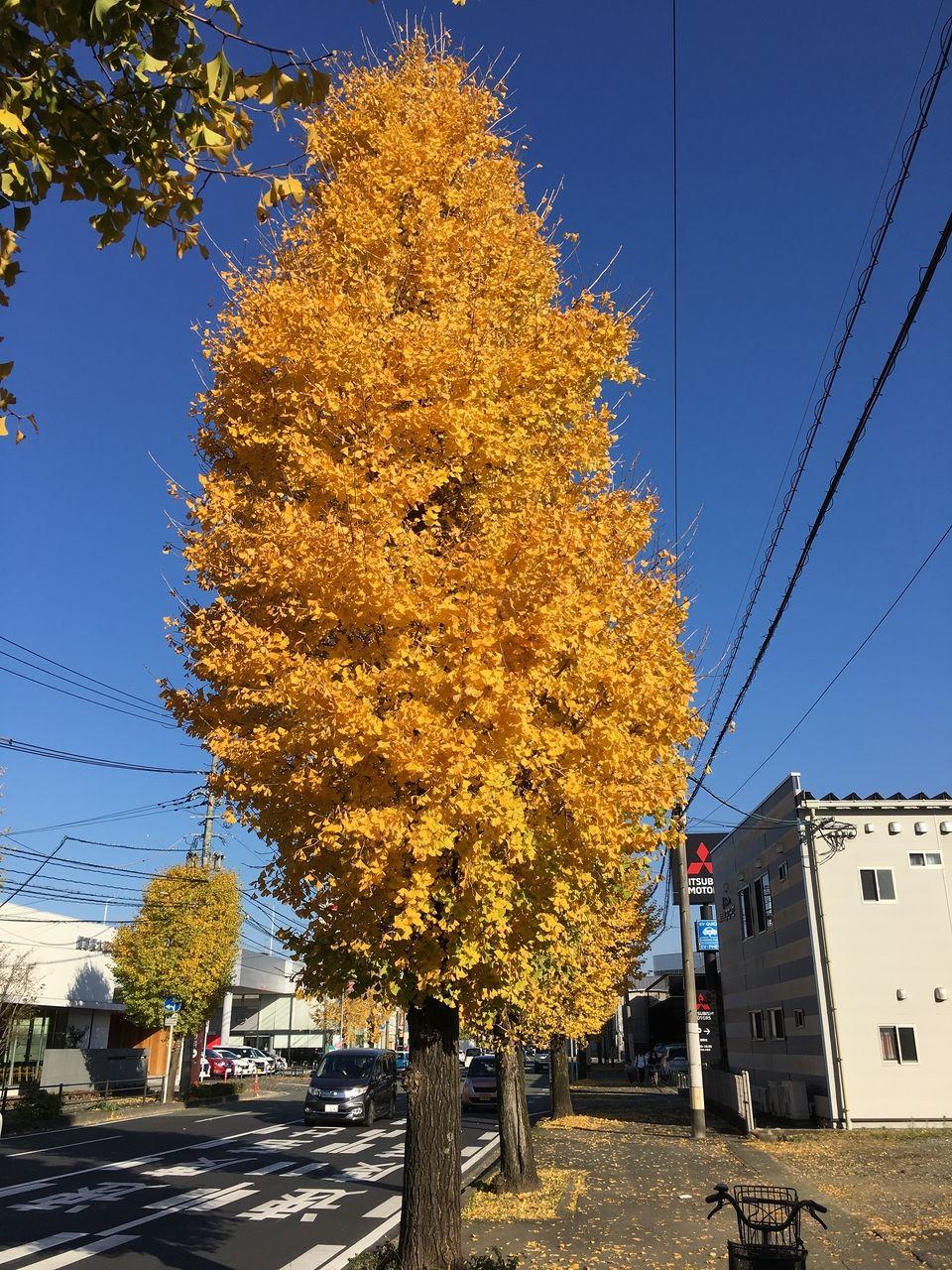 色ずく街路樹の銀杏