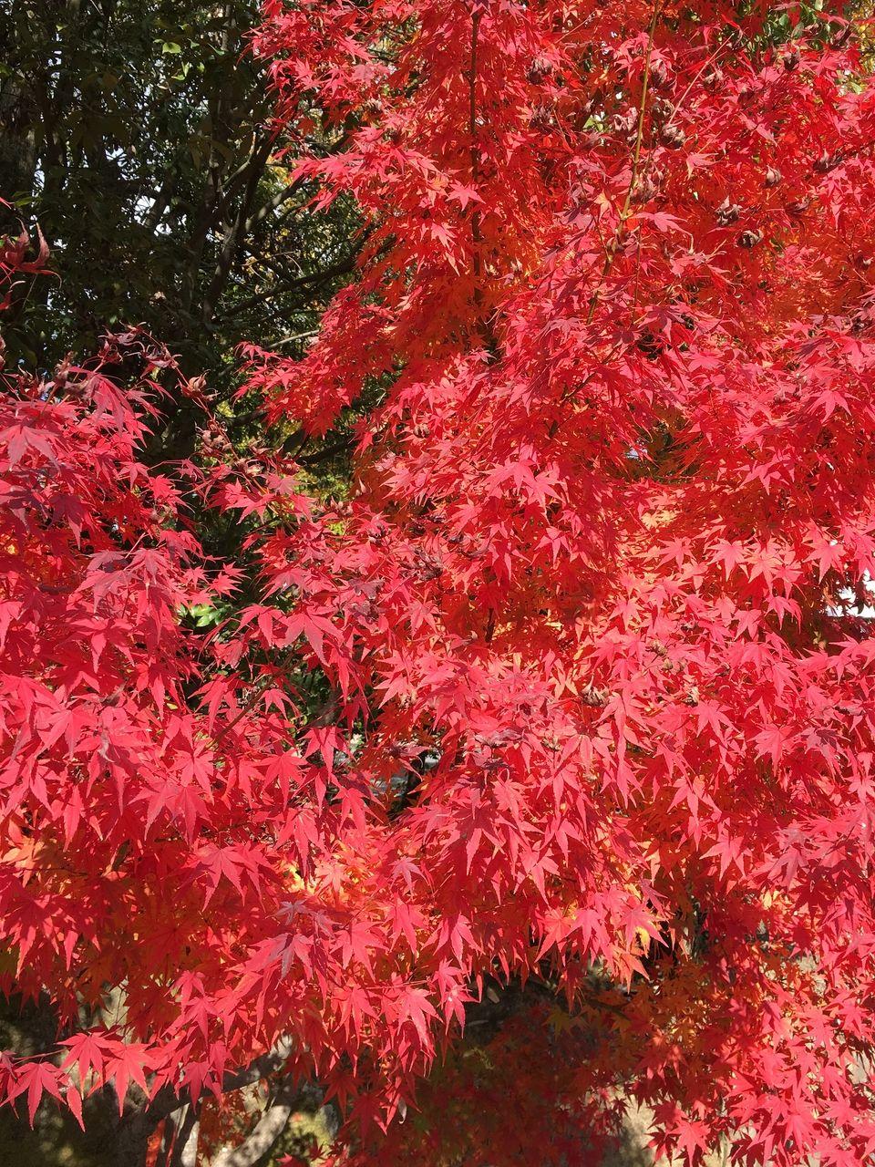 仁和寺  紅萌える紅葉