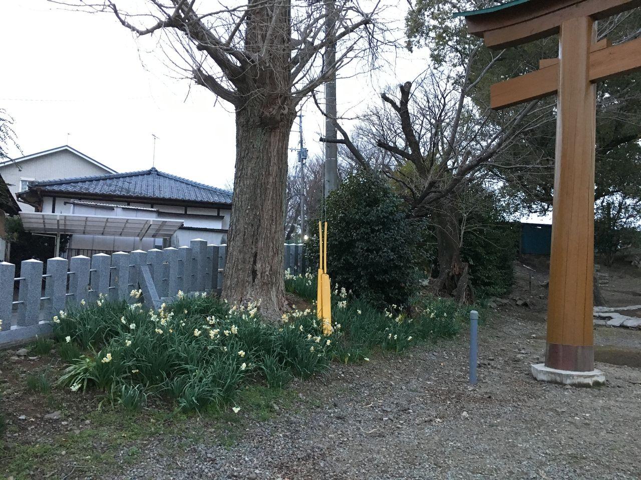 春の訪れをつたえる水仙の花