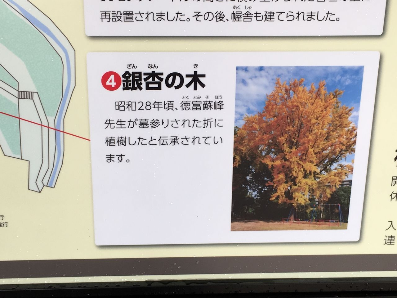 小楠公園内の銀杏の木の説明