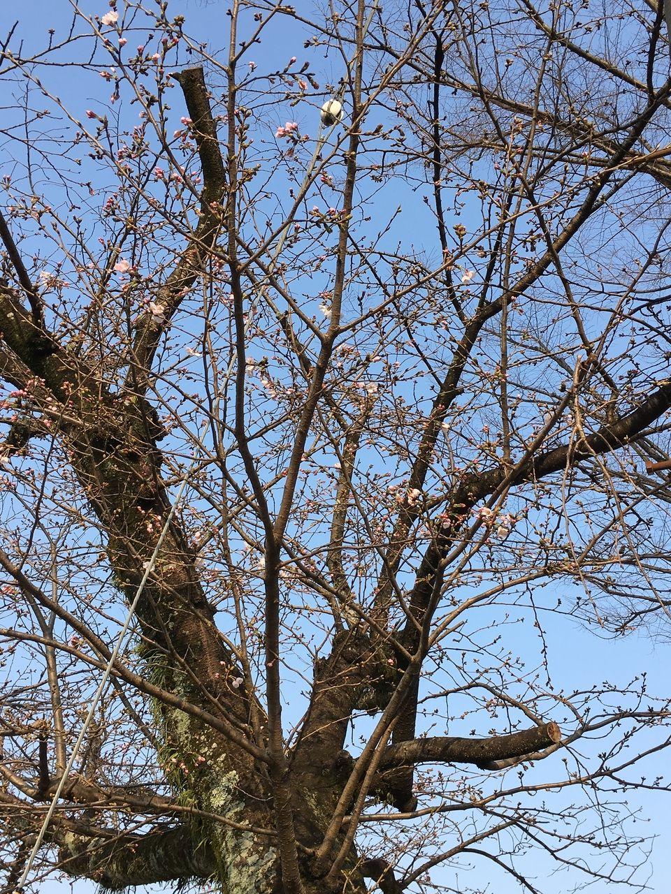 熊本市東区の沼山津公園の桜の蕾がほころびはじめました