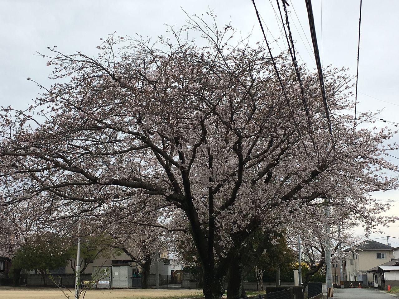 熊本市東区の沼山津公園の桜・ほぼ満開に近くなりました。