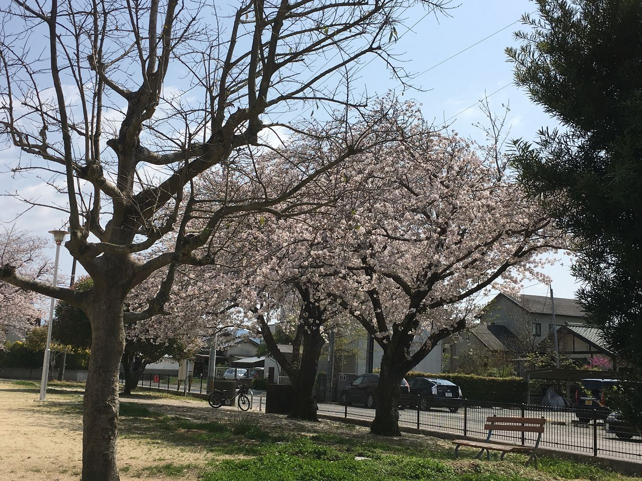 熊本市東区の沼山津公園のさくらの花がついに満開になりました。この満開の状態が一日でも長く続いてくれたらと願います。満開の桜の花はとても華やかな気持ちにしてくれます。満開の花が世情の憂さを少し…