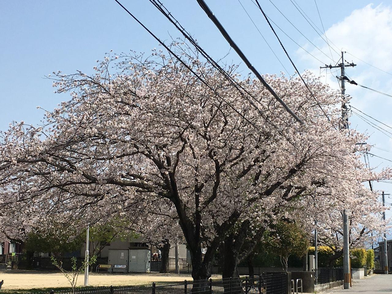 熊本市東区の沼山津公園の桜・満開です。