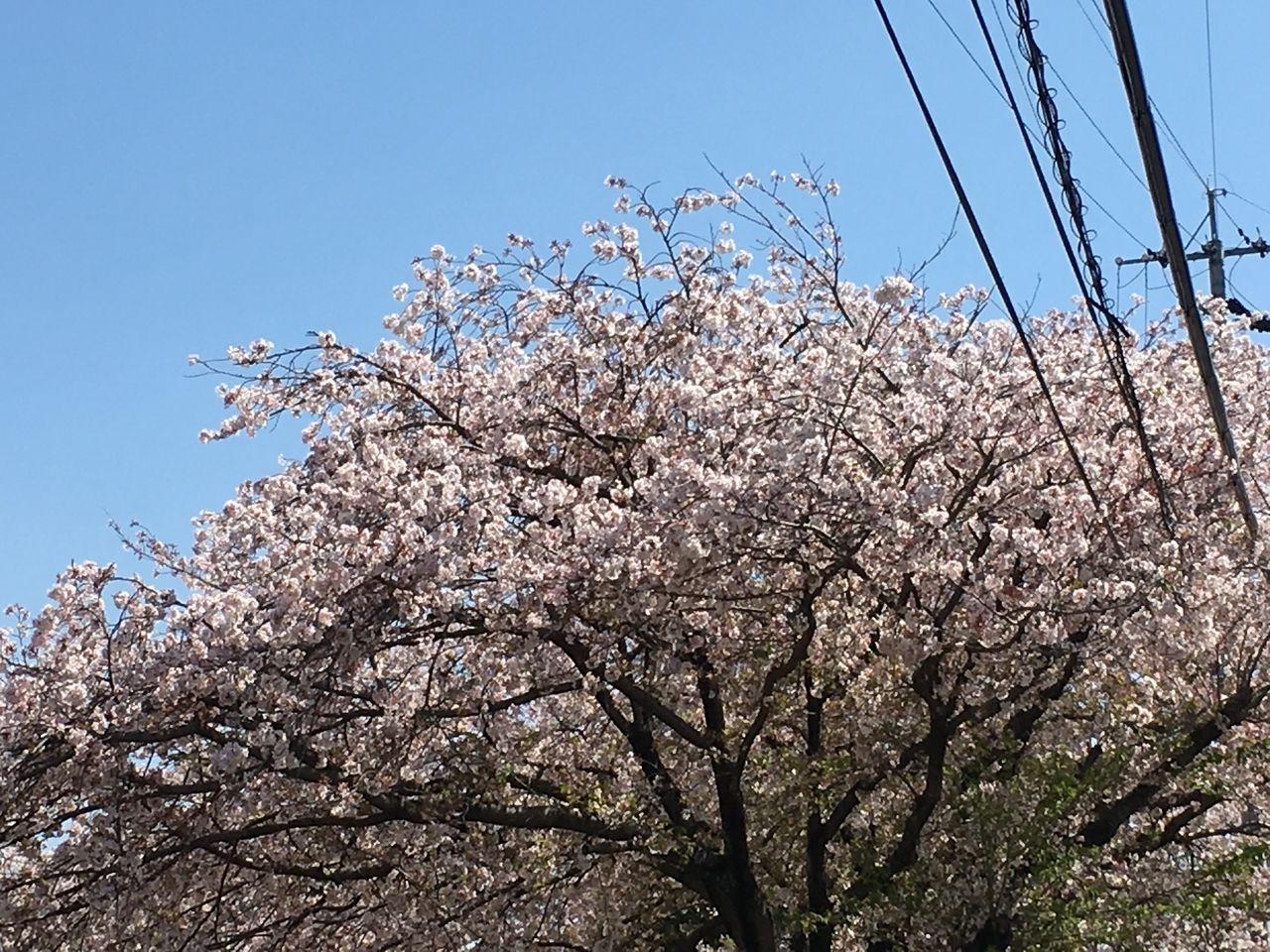 熊本市東区の沼山津公園のさくらの花が、まだ満開のまま花ひらいています。今年は満開に花ひらいた後も、朝夕には若干の冷えもあったことからか雨にも負けることなく、おかげ様でまだ満開の花で地域を華や…