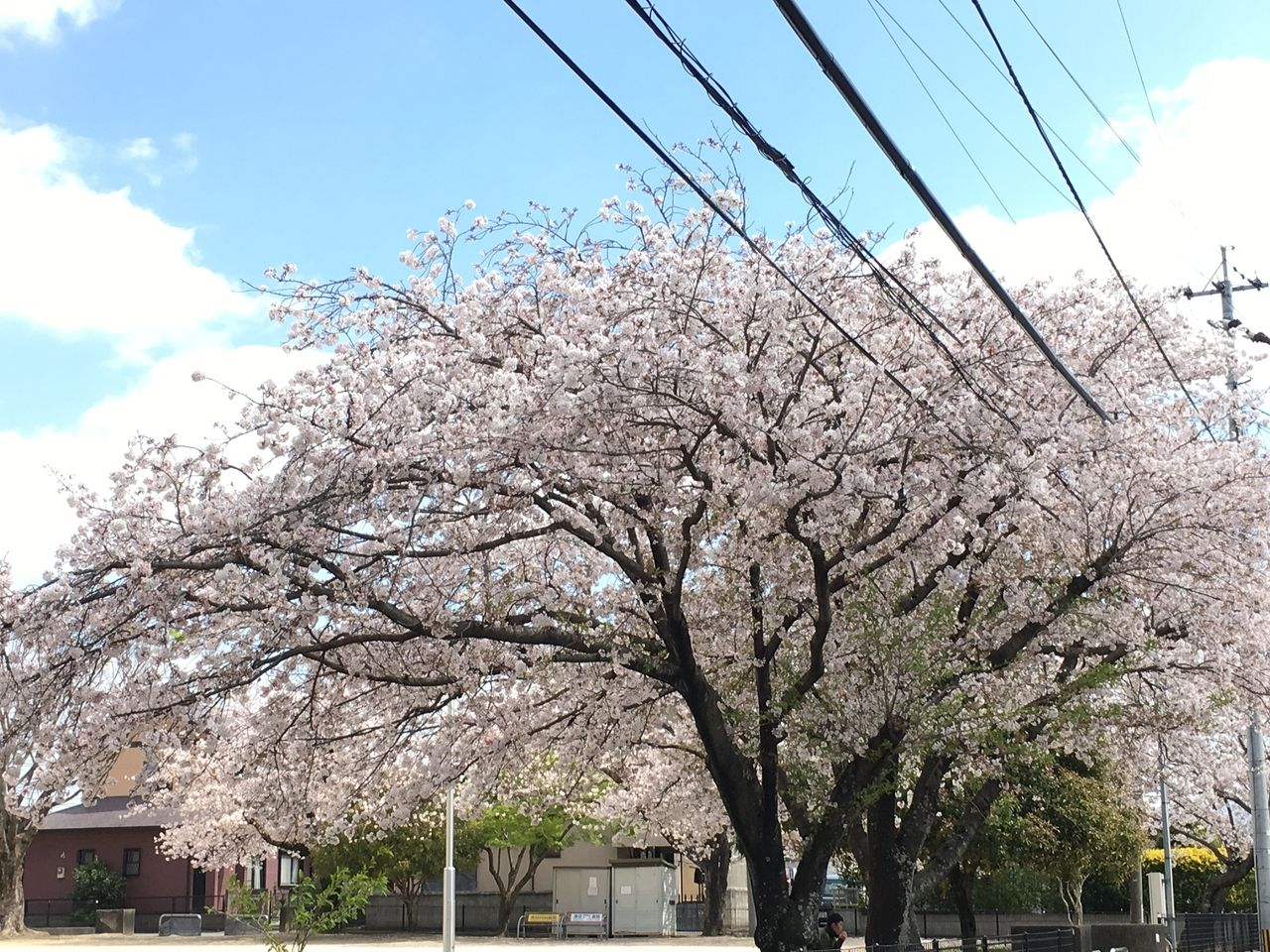 熊本市東区沼山津公園のさくらの花が今年はまだ満開のままはなひらいています。