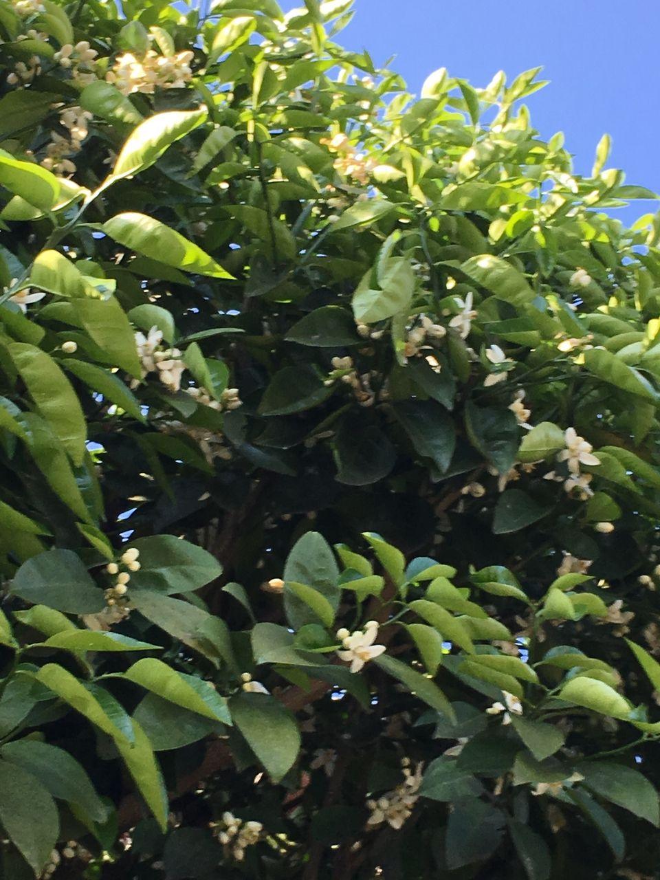 事務所の庭の蜜柑の木。たくさんの蕾の中に白い花が咲きだしました。