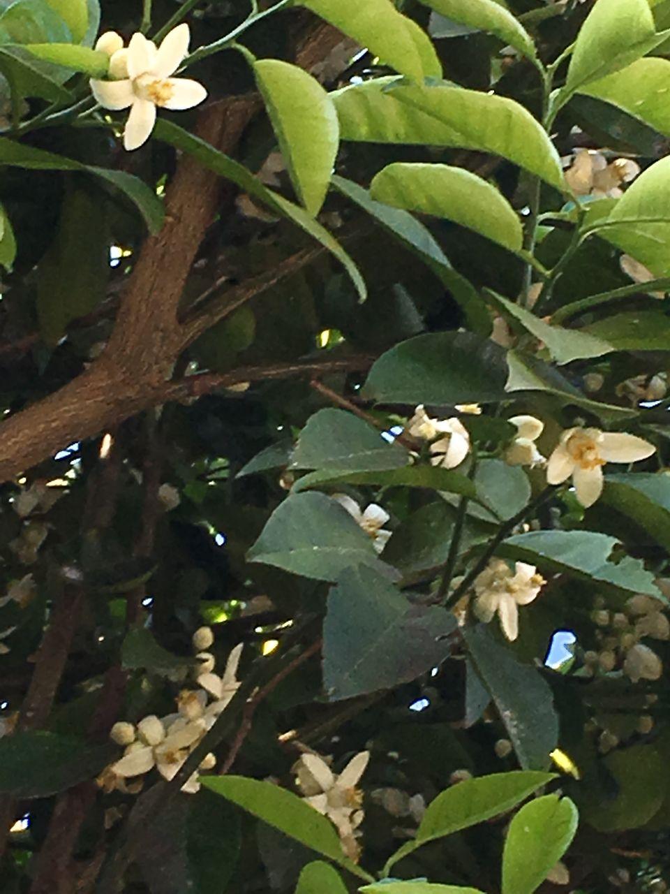 事務所の庭の蜜柑の木に白い花が咲きだしました。