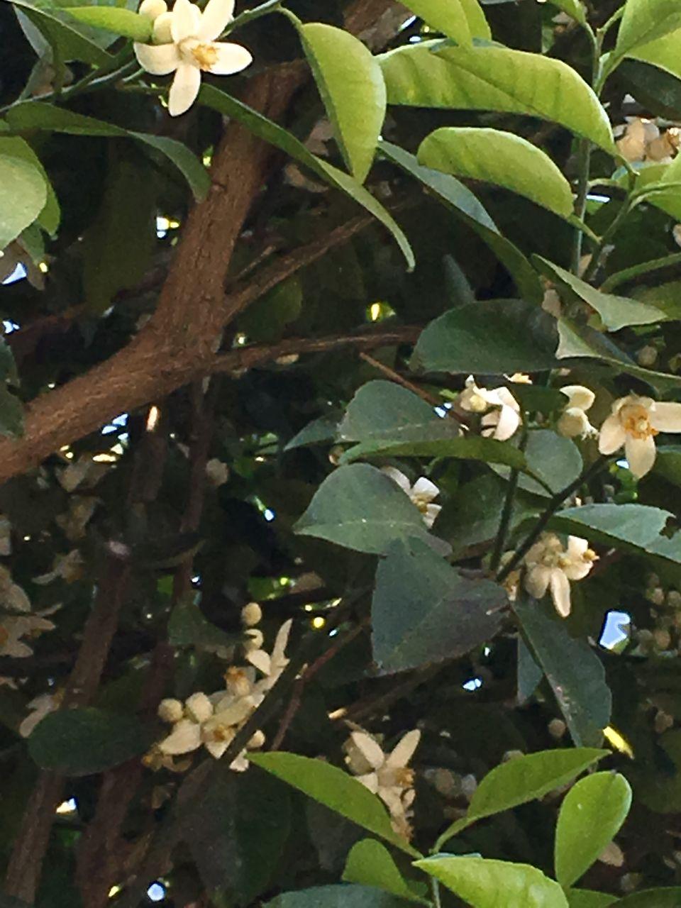 熊本市東区若葉にある事務所の庭の蜜柑の木に白い花が咲きだしました。まだまだ蕾だおもっていたらたくさんの花が開いていていました。自然環境に恵まれた中で仕事が出来ることに感謝したいと思います。熊…