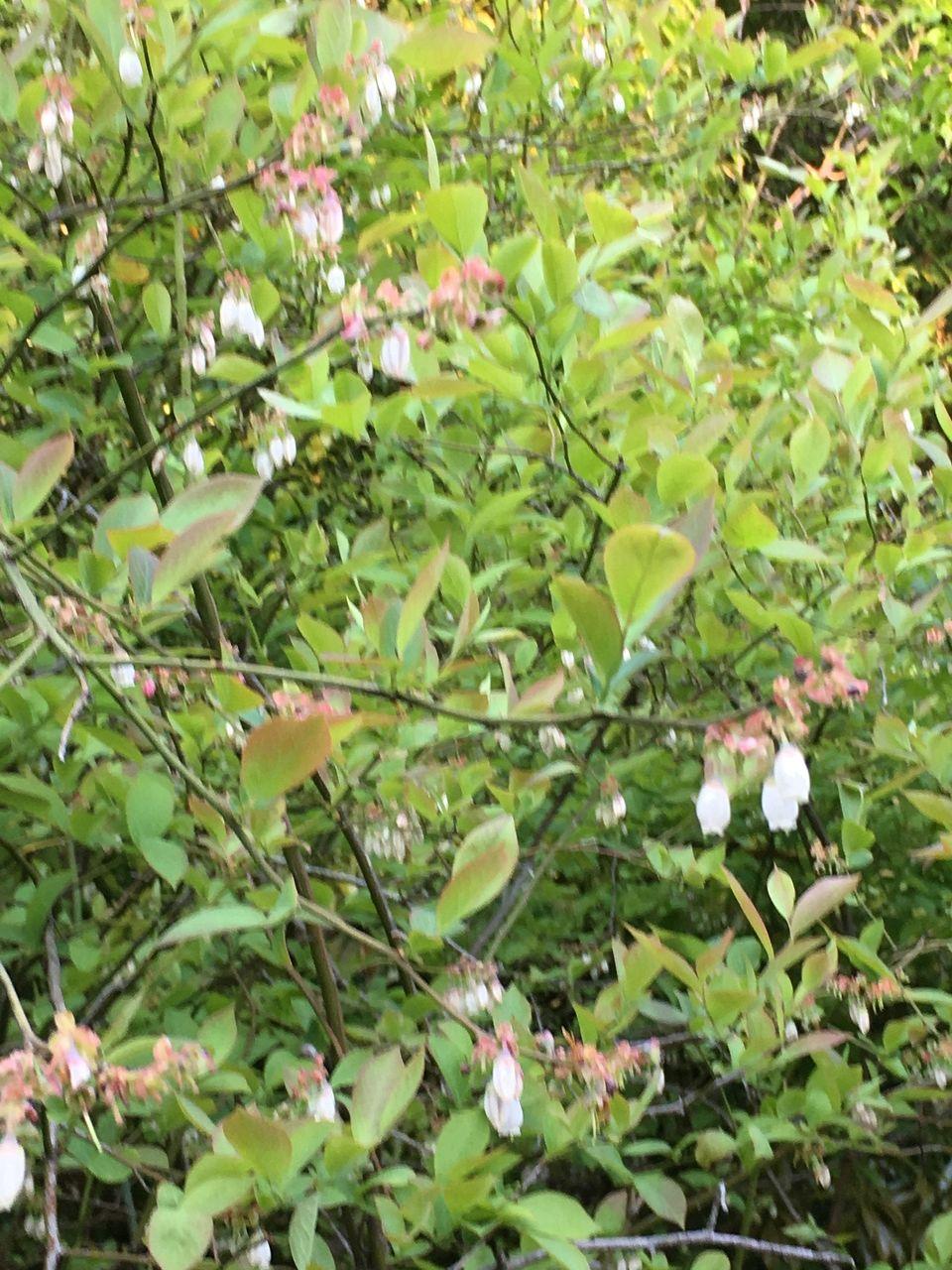 南阿蘇のブルーベリーの木に花が咲きだしました。